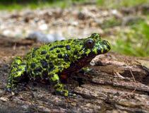 2 bellied жаба пожара Стоковые Изображения RF
