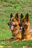 2 bergers allemands Photo libre de droits
