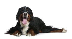 2 bernese狗位于的山老年 免版税库存照片