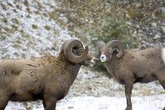 2 bighorn fotografia stock