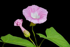 2 bindweed λουλούδι Στοκ Εικόνα