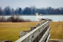 2 Birds in Brown Wooden Fence Near Lake during Day Time Stock Photography