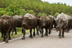 2 bizonu Vietnam Obrazy Royalty Free