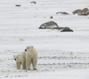 2 björnar polara två Royaltyfria Bilder