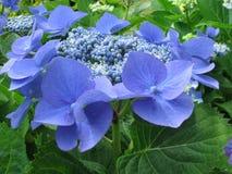 2 blåa petals Royaltyfri Bild