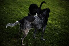 2 Black and Grey Dog on Grass Field during Daytime Royalty Free Stock Images