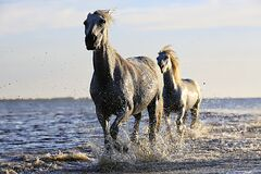 2 Black Horse Running on Body of Water Under Sunny Sky Stock Photo