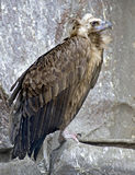 2 black vulture Στοκ εικόνα με δικαίωμα ελεύθερης χρήσης