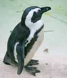 2 blackfooted пингвин Стоковое Изображение RF