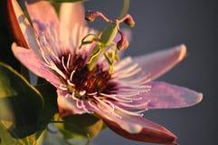 2 blommapassionskuggor Royaltyfri Fotografi