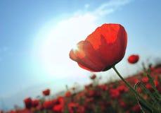 2 blomningpopies Arkivbild