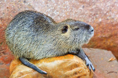 2 bobrów castor Zdjęcie Royalty Free