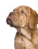 2 Borda De Dogue miesiąc szczeniak Fotografia Royalty Free