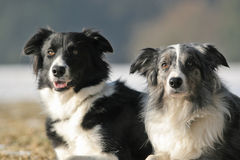 2 border collies. Together - black-white and bluemerle royalty free stock photography