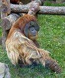 2 bornean orangutan Fotografia Stock
