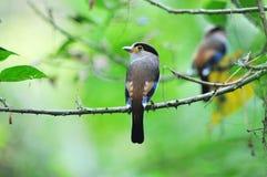 2 Broadbill Vogel (Silber breasted) Stockfotografie