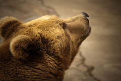 2 brown bear Obrazy Royalty Free