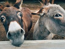 2 Brown and Grey Donkey Closeup Photography Royalty Free Stock Photography