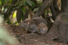 Free 2 Brown Rats Scurry Allong The Forest Floor Royalty Free Stock Images - 217565859