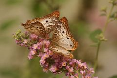 2 Brown and White Butterflies on Pink Flowers Stock Photo