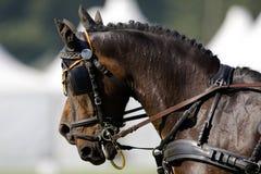 2 bruine paarden tijdens in hand vier Stock Foto's
