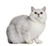 2 brytyjskich kota starych shorthair rok Obraz Royalty Free