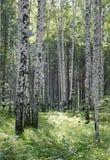 2 brzozy drewno Zdjęcia Stock