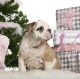 2 buldoga angielskich miesiąc stary szczeniaka obsiadanie Obraz Royalty Free