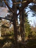 2 caledonian skog scotland Arkivbilder