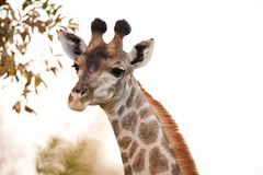 2 camelopardalis κλείνουν giraffe giraffa επάνω Στοκ Εικόνα