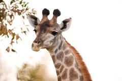 2 camelopardalis закрывают giraffe giraffa вверх Стоковое Изображение