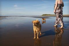 2 cani sul camminare della donna della spiaggia Immagine Stock