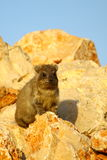 2 capensis góralka procavia skała Zdjęcie Royalty Free