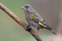 2 carduelis虎尾草属greenfinch 免版税库存照片