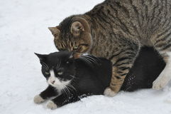 2 cats in the snow. 2 cats playing in the snow Stock Photography