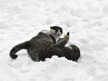 2 cats in the snow. Two cats fighting in the snow Stock Photos