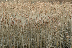 2 cattails Royaltyfria Bilder
