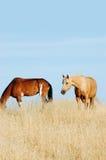 2 cavalli Fotografia Stock