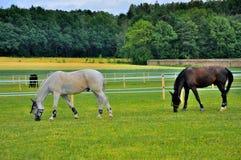 2 cavalli che mangiano erba vicino a Schloss Fasanarie Immagine Stock