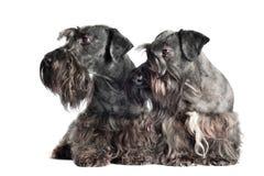 2 cesky собаки terrier совместно Стоковое Изображение