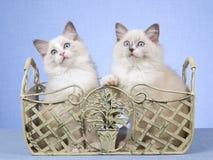 2 chatons de Ragdoll dans le conteneur de fer travaillé Photographie stock libre de droits