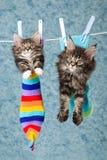 2 chatons de ragondin du Maine dans les chaussettes sur la ligne Images stock