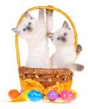 2 chatons mignons de Pâques Ragdoll Photos stock