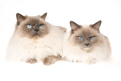 2 chats de Ragdoll sur le fond blanc Photographie stock