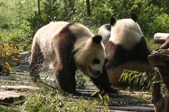 2 chengdu pandas Royaltyfri Bild