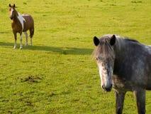 2 chevaux dans le domaine vert en été britannique Photographie stock