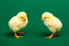2 chicknens littke Стоковое фото RF