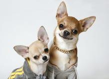2 chihuahua Fotografia Stock Libera da Diritti