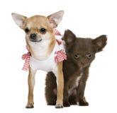 2 chihuahuas 15 meses e um filhote de cachorro 5 meses Foto de Stock Royalty Free