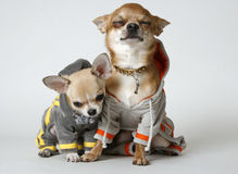 2 chihuahuas Stock Afbeelding